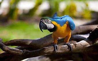 Попугай Ара (Каталог номер: 11173)