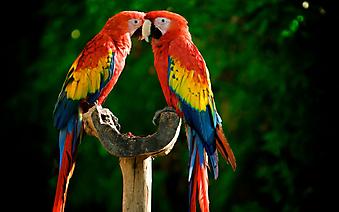 Яркие попугаи (Каталог номер: 11175)