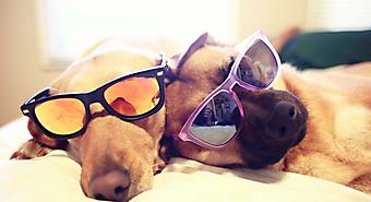 Собаки в очках.  (Каталог номер: 11176)