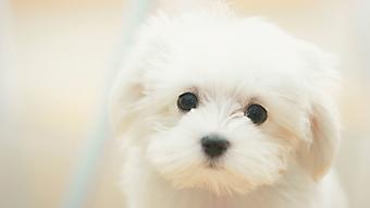 Белый щенок. (Каталог номер: 11181)