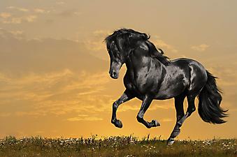 Черная лошадь на закате. (Каталог номер: 11191)