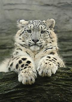 Снежный леопард. (Каталог номер: 11192)