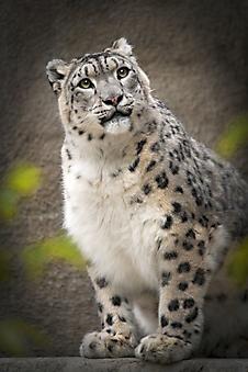 Пушистый леопард. (Каталог номер: 11193)