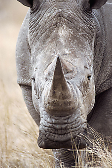 Суровый носорог. (Каталог номер: 11195)