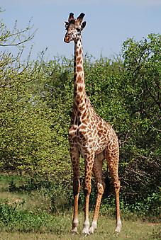 Одинокий жираф. (Каталог номер: 11196)