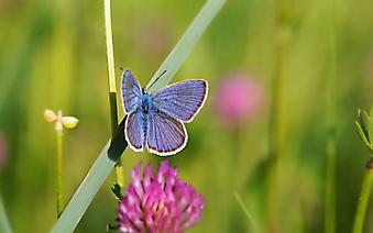 Бабочка и клевер. (Каталог номер: 11199)