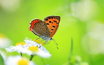 Бабочка на ромашке. (Каталог номер: 11201)
