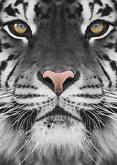 Тигр крупным планом (Каталог номер: 11204)