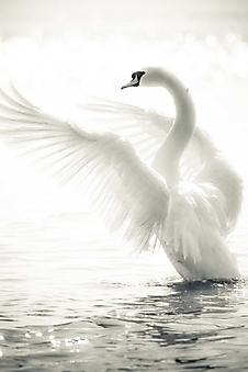 Грациозный лебедь (Каталог номер: 11205)