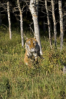 Тигр на опушке (Каталог номер: 11206)