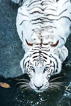 Тигр с голубыми глазами (Каталог номер: 11213)