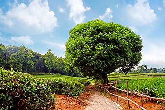 Чайное дерево. (Код изображения: 18016)