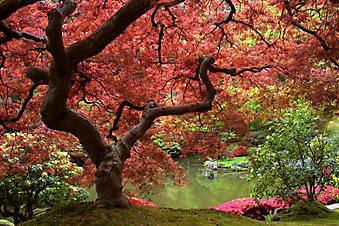 Японский клен. (Код изображения: 18017)