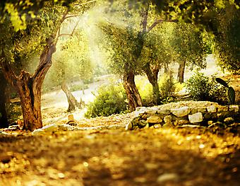 Оливковые деревья. (Код изображения: 18028)