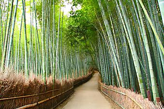 Бамбуковый лес в Киото, Япония (Каталог номер: 18053)