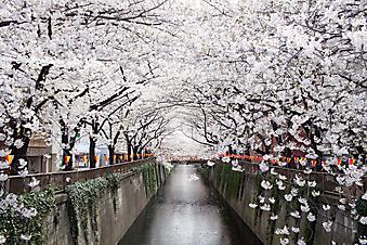 Великолепный сад сакуры (Каталог номер: 18067)