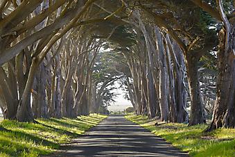 Туннель из деревьев (Каталог номер: 18071)