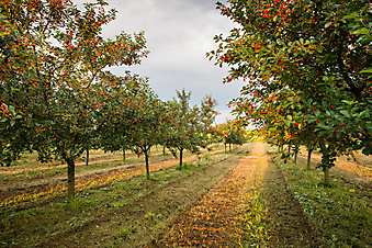 Яблоневый сад (Каталог номер: 18072)