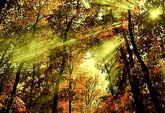 Лучи света в кронах деревьев (Каталог номер: 18089)