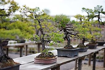 Бонсай в японском саду (Каталог номер: 18115)