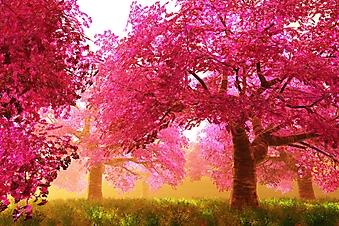 Мистический сад с цветущей вишней (Каталог номер: 18119)