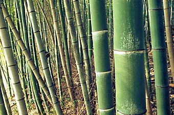 Зеленый бамбук. (Код изображения: 22002)