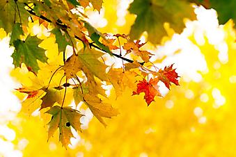 Кленовые листья. (Код изображения: 22008)