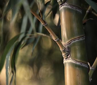 Бамбук. (Код изображения: 22018)