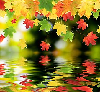 Кленовые листья. (Код изображения: 22022)
