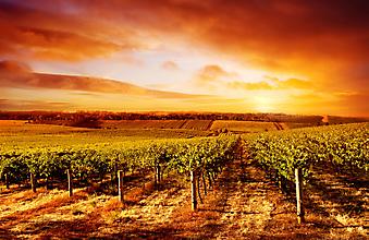 Виноградник, Закат, Австралия. (Код изображения: 04003)