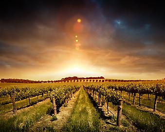 Виноградник, рассвет. (Код изображения: 04032)