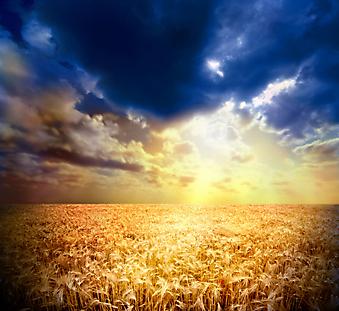 Закат на пшеничном поле. (Код изображения: 04037)