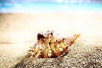 Тигровая ракушка на песке (Каталог номер: 05153)